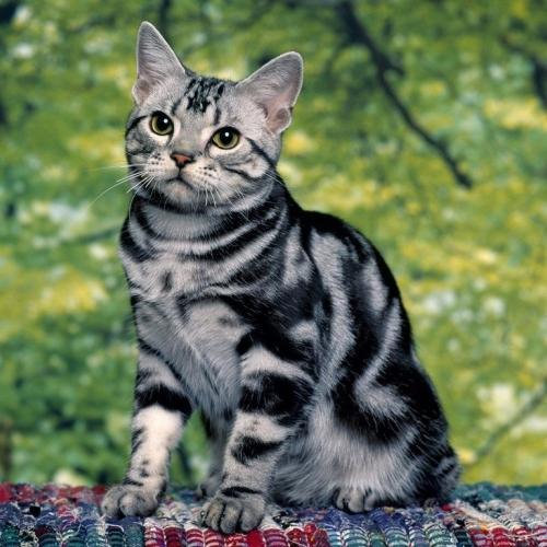 Кошка домашняя