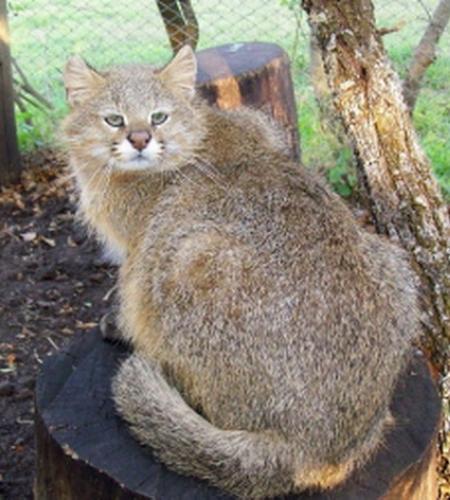 Травяная кошка